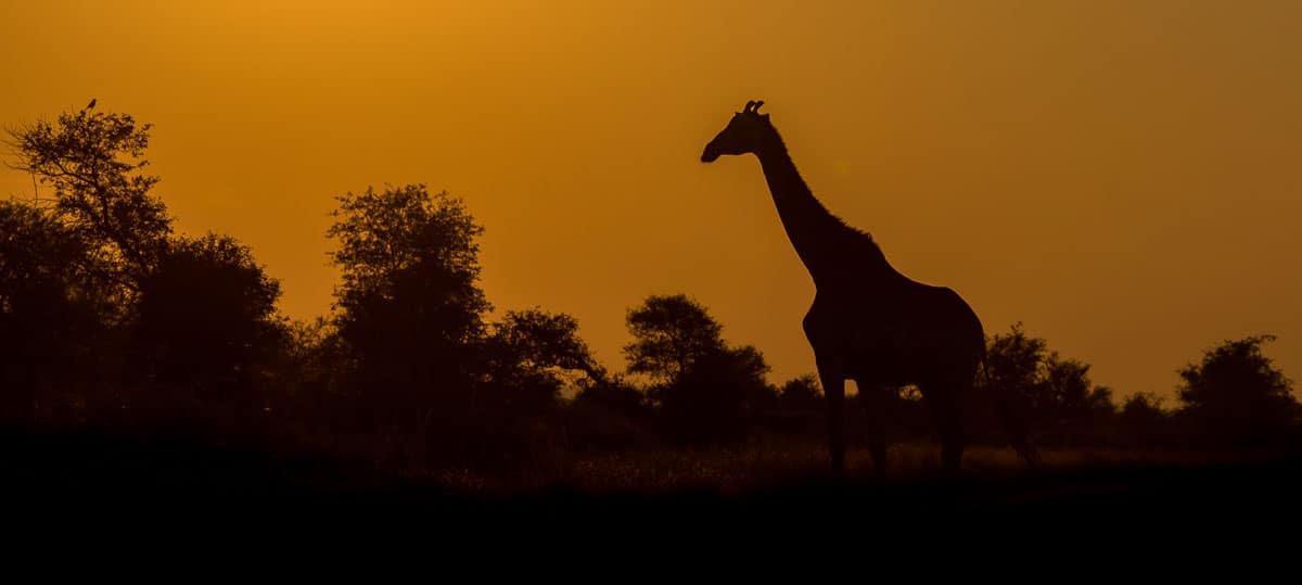 Giraffe-At-Kruger-National-Park